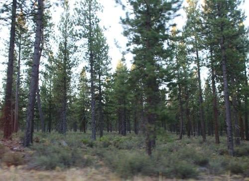 Ponderosa pine forest, Bend.