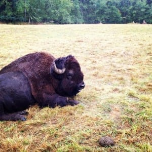 bison at NW trek something to do in seattle with kids