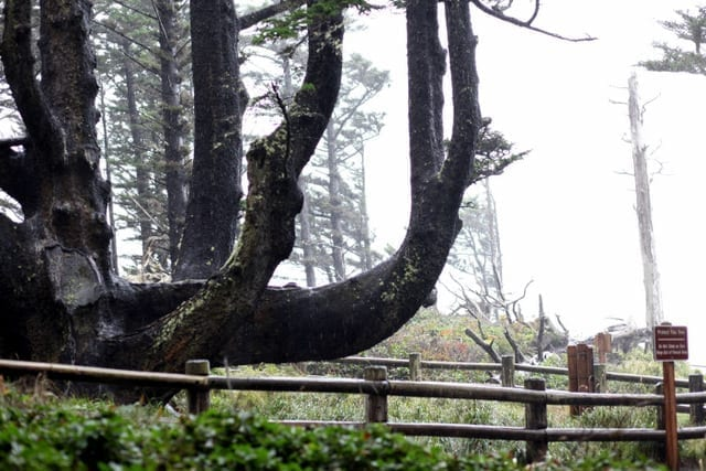 Octopus Tree Oregon Coast