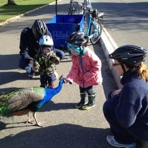 Meeting a Beacon Hill peacock; Photo courtesy The Pedaler.